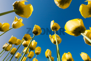 Yellow tulips seen from below perspective