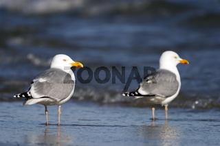 Silbermöwe - Larus argentatus - Herring Gull