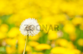 white dandelion in the field