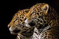 Jaguar Pair III
