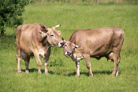 Zärtliche Kühe.jpg