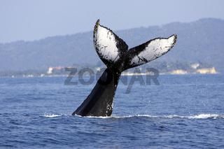 Buckelwal, Megaptera novaeangliae,  Humpback Whale
