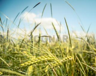 Retro Wheat Field