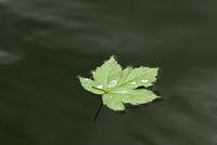 Ahornblatt Blatt