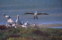 Pelikan landet bei Kolonie