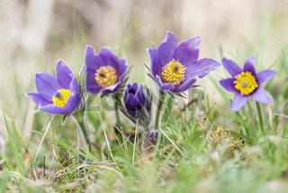 Gewoehnliche Kuechenschellen, Pulsatilla vulgaris, Pasque flower