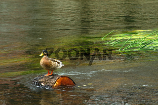 duck floating on a tree trunk