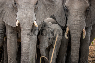 Baby Elephant in between a herd of Elephants.
