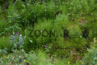Schachtelhalm, Equisetum scirpoides in Norwegen