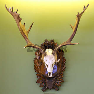 fallow deer hunting trophy on green wall ( Dama )