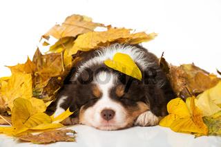 Welpe im Herbstlaub