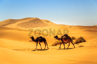Couple of dromedaries walking in the middle of a sandy desert on a sunny day