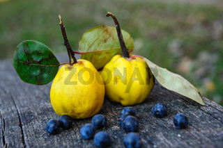 Quince fuits and blackthorn berries on old wood background.