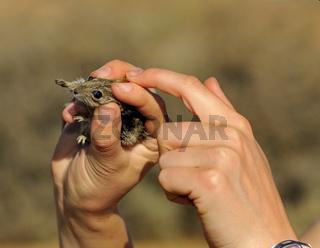 Festhaltegriff bei einer gefangenen Striemen-Grasmaus