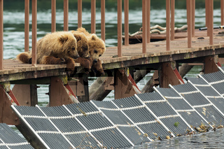 Three little brown bear cub on fence to account for fish. Kurile Lake.