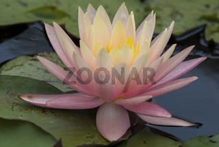 Nymphaea,seerose,wasserrose,Water-lilies,Nymphaea Barbara Dobbins,