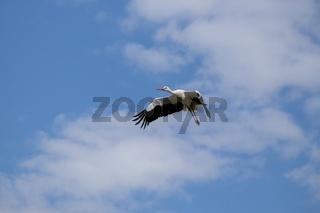 Weißstorch im Flug