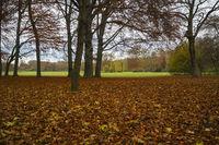 Beech in Autumn, low Point of View. Englischer Garten (
