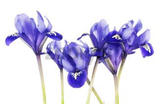 Spring  blue irises flowers