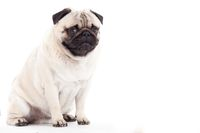 pug dog on white