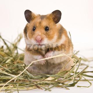 Goldhamster - Golden hamster
