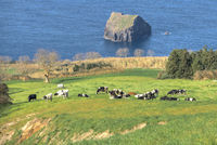 Cows grazing in the pasture, sea in the background