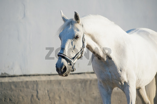portrait of  Lipizzaner horse at white wall background