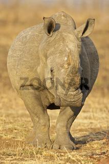 Breitmaulnashorn, Weisses Nashorn (Ceratotherium simum), Krueger Nationalpark, Kruger National Park, Suedafrika, Afrika, White Rhinoceros or Square-lipped rhinoceros, Rhino, South Africa