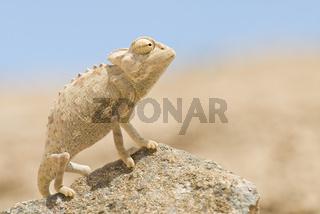 Namaqua Chamaeleon, Chamaeleo namaquensis, Namib