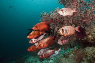 Schwarm Riff-Grossaugen, Indonesien