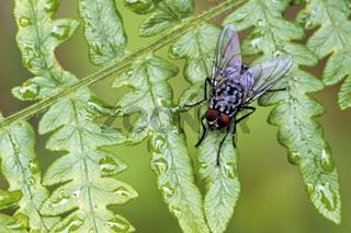 Fliege auf einem Farnwedel / Polietes cf. domitor - (Maennchen)