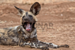 a wild dog in Kruger National Park South Africa