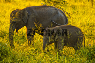 Asiatischer Elefant - Uda Walawe NP, Sri Lanka