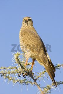 Weissbuerzel Singhabicht (Melierax podiopterus), Etosha-Nationalpark (Etoscha National Park), Namibia, Afrika, Pale chanting goshawk, Etosha NP, Africa