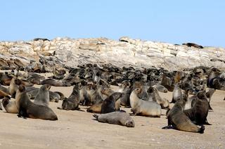 Seebären, Kleinzee Kolonie, RSA