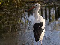 Storch, Stork