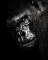 Western Lowland Gorilla BW