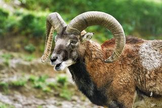 Portrait of Ram
