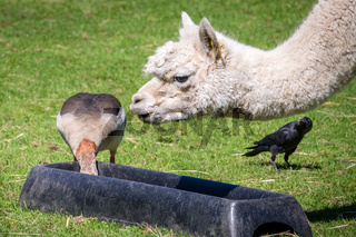 Duck stealing food from llama