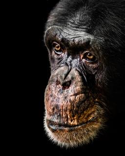 Chimpanzee XX