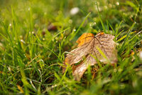 Stand-alone leaf on grass background in the field