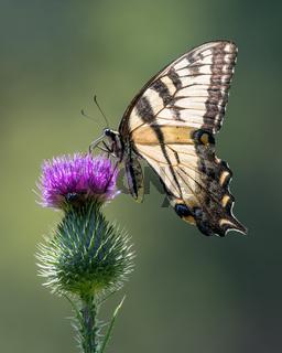 Tiger Swallowtail on Purple Thistle