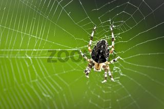 Kreuzspinne garden spider araneus diadematus