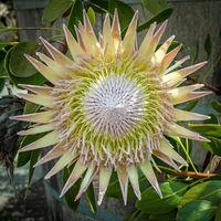 eine der größten blüten der welt - mehr als 30 cm im durchmesser