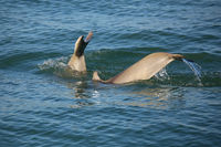 Tails of diving Common bottlenose dolphins