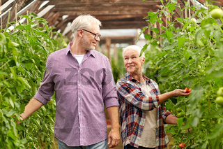 old couple picking tomatoes up at farm greenhouse