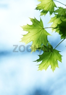Green leaves against blue sky in spring