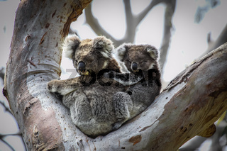 Koala mother with baby joey on its back sitting in a eucalyptus tree, facing, Great Otway National P