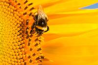 Eine Nahaufnahme einer Hummel auf einer Sonnenblume