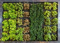 Green wall or vertical garden